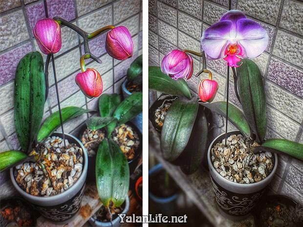 Taipei life Art Orchids Flowers Romanticism 台北生活 艺术 花卉 蝴蝶兰 浪漫主义 Yalan雅岚 黑摄会